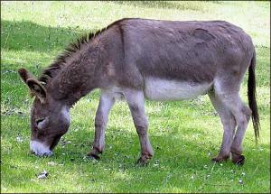 issachar-donkey
