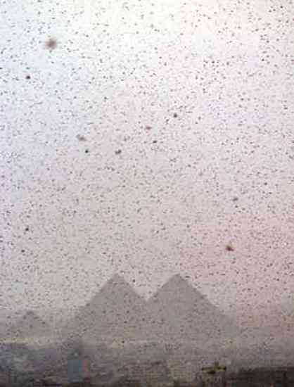 a swarm of locusts in Egypt