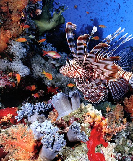 Controversy abounds:  the Red Sea or the Sea of Reeds?  Where did they cross?  Who knows?  It is a fact, however, that the Red Sea today has some of the best diving in the world.  With around 1000 species of fish and 150 species of coral, the Red Sea is rich in marine life.