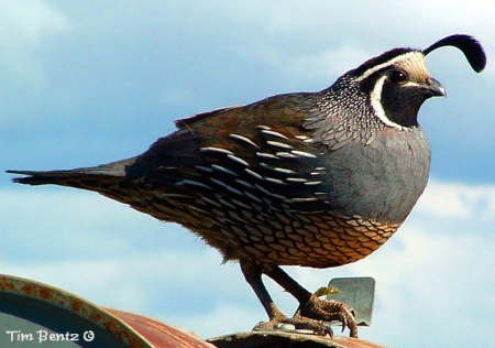 A Valley quail in California, photograph by Tim Bentz