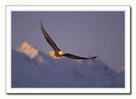 Bald eagle in flight, Kachemak Bay State Park, Alaska; photograph by Carl Donohue