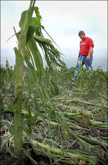 Corn field damaged by hail (Mankato, MN)