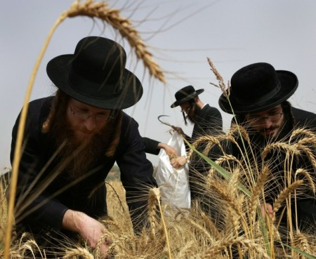 Ultra-Orthodox Jews harvest wheat with a hand sickle in Israel.  They then store the wheat for almost a year before grinding it into flour to make unleavened bread for the Passover festival. Photograph taken in 2007.