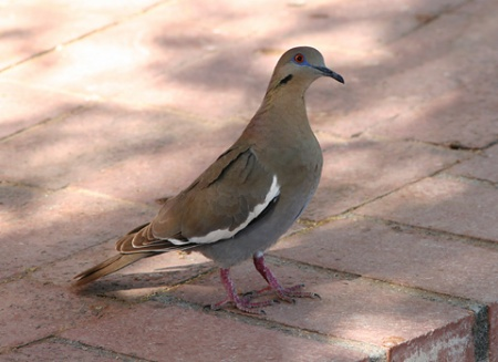 White-winged doves are large and rather pigeon-like doves.  This one lives in Arizona.