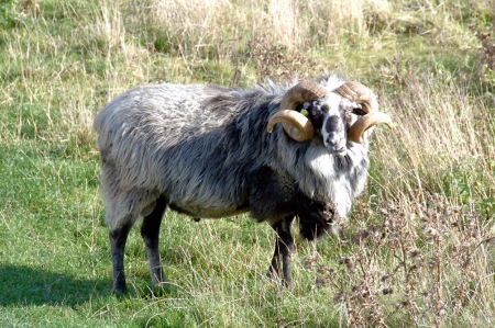 This big old male sheep is named Johannes and lives in Denmark.