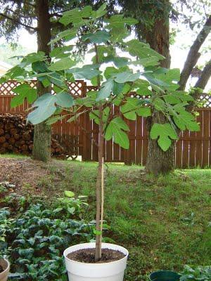 13. Fig+Tree