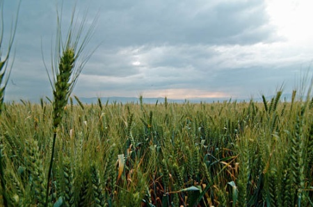Wheat field in Galilee, Israel