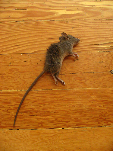 Read the remainder of these instructions while thinking about this dead mouse in your home!