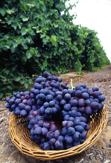 Imagine eating nothing much but quail and manna for as long as you can remember -- and then you taste these grapes! . . .