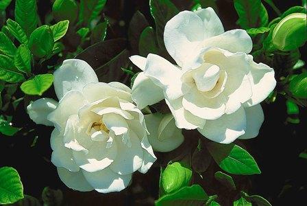 15. gardenia