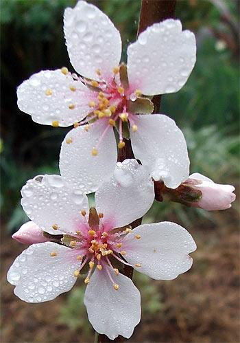 17. almond-blossom