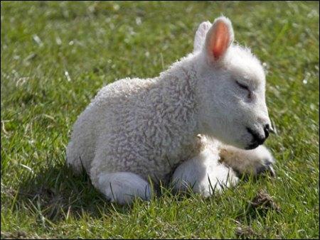 27. lamb