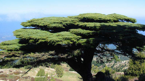 Cedars Of Lebanon ~ Chronicles dwelling in the word