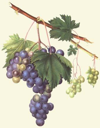 I5 grapes