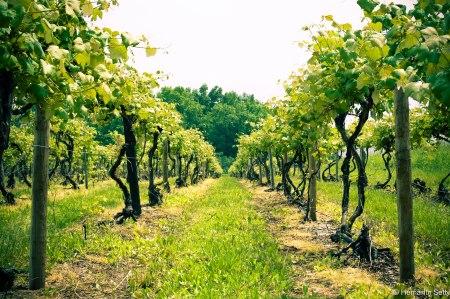 lake seneca vineyard