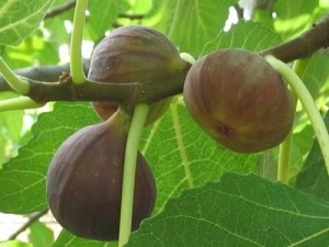 I28 ripe-figs