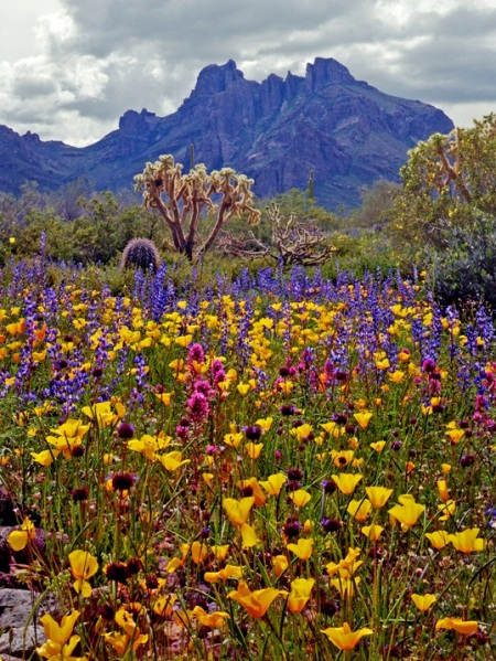 Desert in bloom in Alamo Canyon, Ajo Mountains, Organ Pipe Cactus National Monument, Arizona