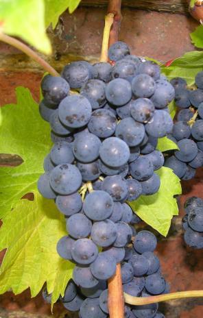 I65 grape-cluster