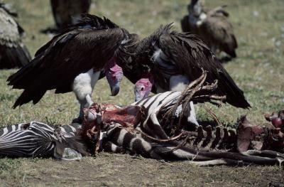 Jer12 vultures