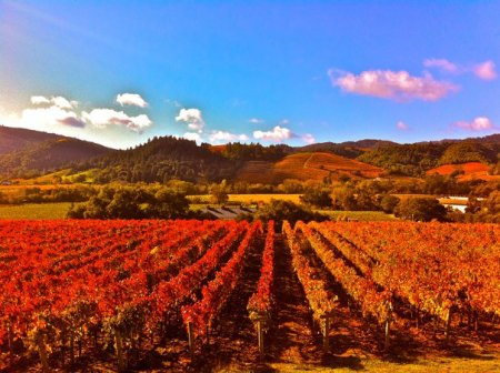 I have seen vineyards on four continents but some of the most beautiful, in my opinion, are in Sonoma County, California.