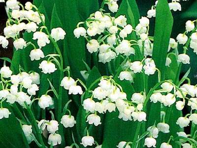 With great fondness I remember my mother tending to her little bed of lilies of the valley. The fragrance was so wonderful! I think of Christ in this chapter, spreading the fragrance of God as he teaches and heals.