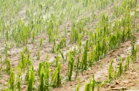 corn field damaged by hail