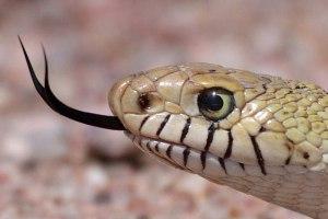 Ps140 snake