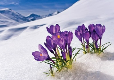 Nah1 crocus_flowers_in_the_snow