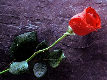 2Cor12 rose with thorns