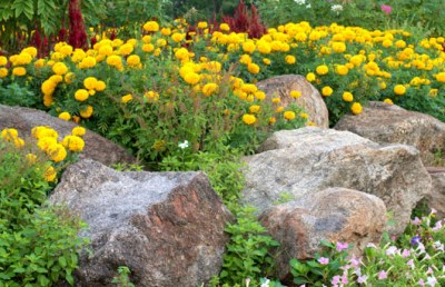 Job8 rock_garden_yellow_flowers