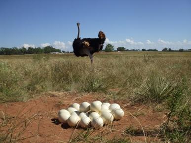 Job39 Ostrich_Eggs