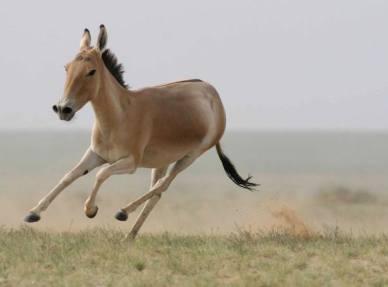 Job39 Wild-Donkey