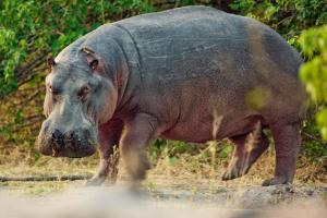 Job40 African-Hippopotamus4