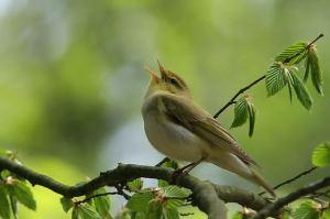 Ps144 bird-singing