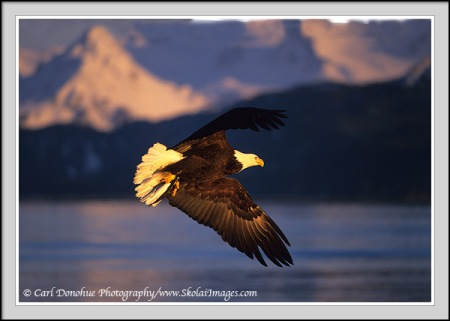 Bald Eagle soaring, in flight against snow capped mountains of Kachemak Bay State Park, Homer, Alaska.  Photo by Carl Donohue.