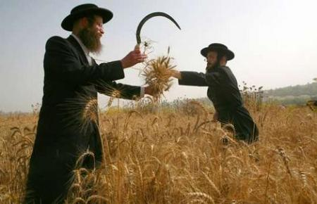 Ultra-Orthodox Jews harvest wheat with a hand sickle in Israel. They then store the wheat for almost a year before grinding it into flour to make unleavened bread for the springtime Passover festival. Photograph taken in 2007.