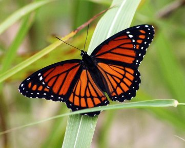 Heb10 Viceroy-Butterfly