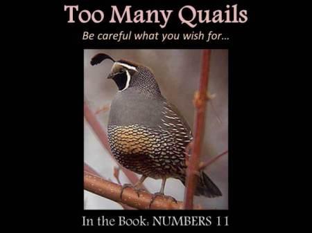 Num11 quail