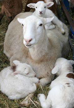 Deu7 lambs