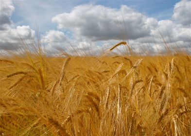 a land of agriculture (barley fields)