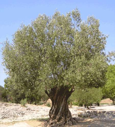 The olive tree was content to grow where God has planted it.