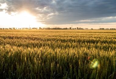 Ruth2 barley field