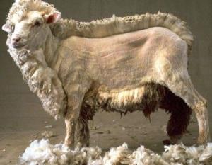 1Sam25 sheep