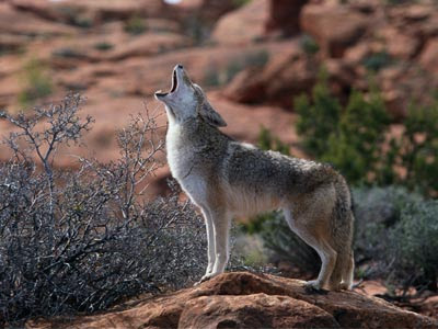 """My enemies -- """"they howl like coyotes."""""""