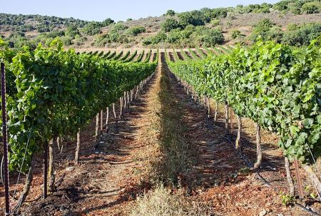 vineyard in Galilee