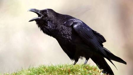 Ravens were unclean animals, yet God used them to bring his prophet his daily meal.