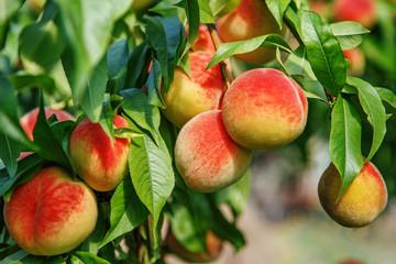 prov11-ripe-fruit